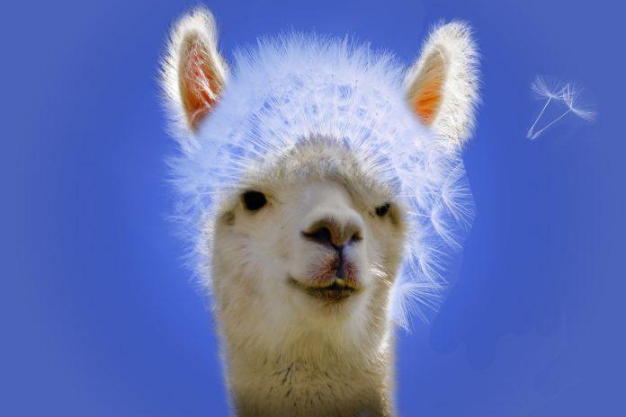 Llamas May Help Coronavirus Treatment