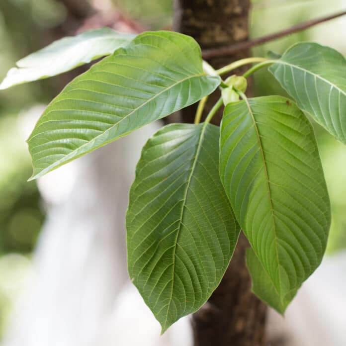 In addition to this, the red vein kratom strains also regulate sleep and prevent from insomnia or sleep deprivation.