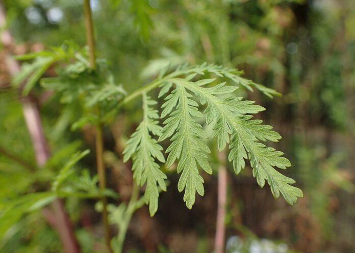 common aromatic herb